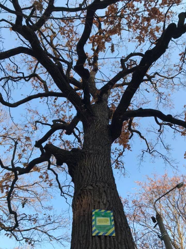 дерево, памятник природы