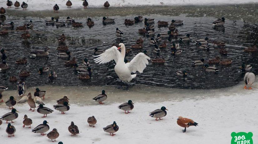 Киевлян призывают подкармливать зимой маленьких птиц и не подвергать стрессу лебедей