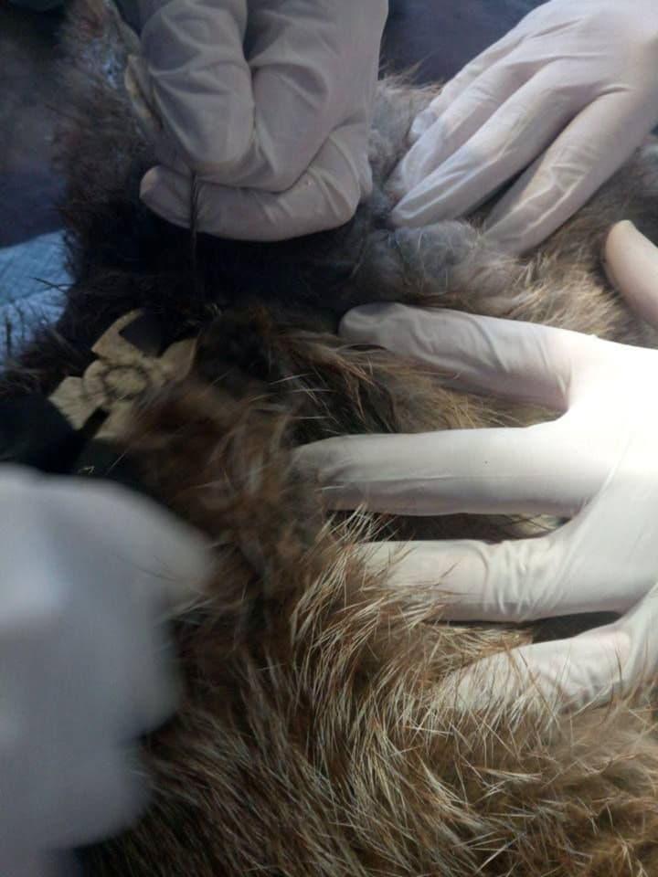 раненая лиса