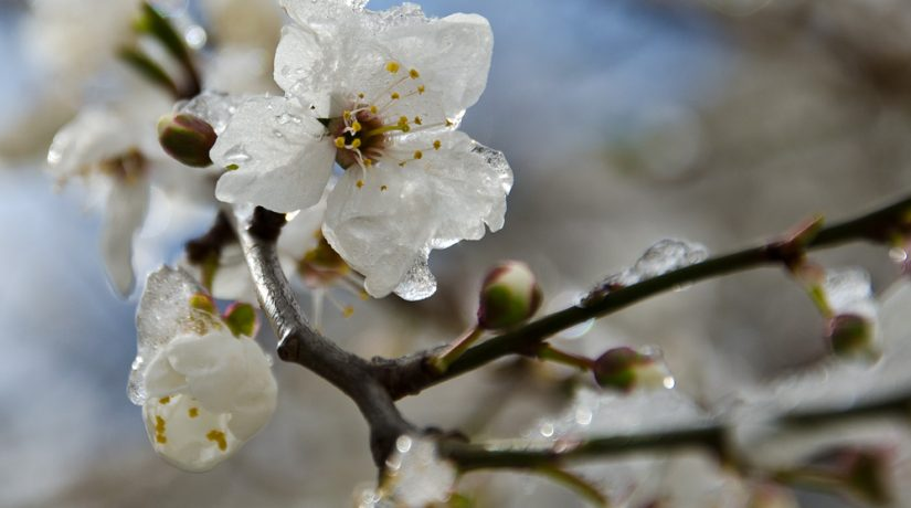 заморозки, цветет абрикос