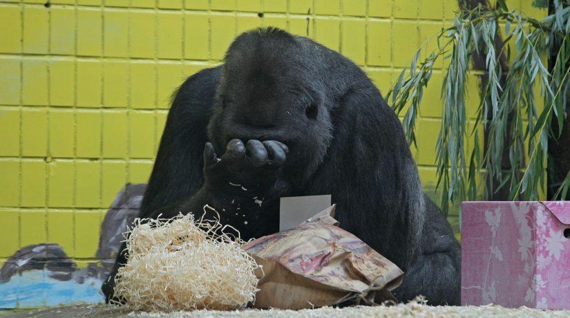 Гориллу Тони поздравили с днем рождения около 5 тысяч посетителей зоопарка