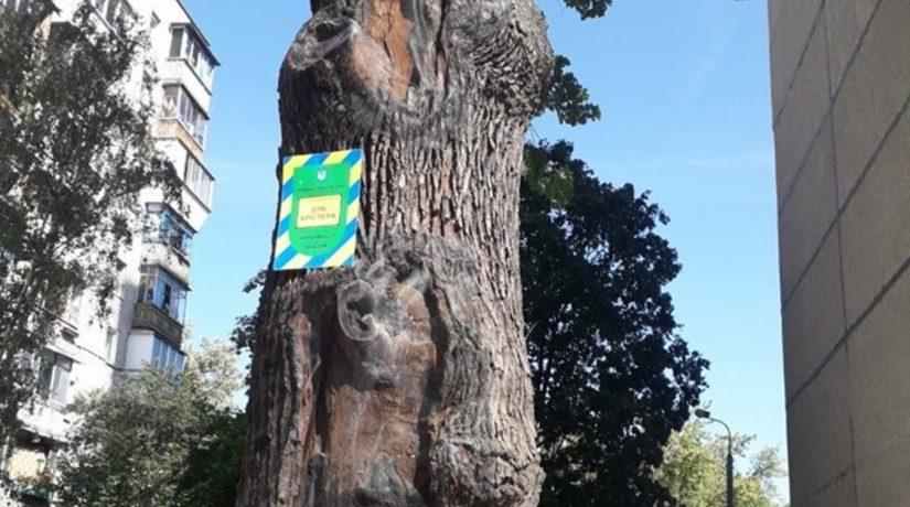 В Подольском районе подлечили 700-летний дуб