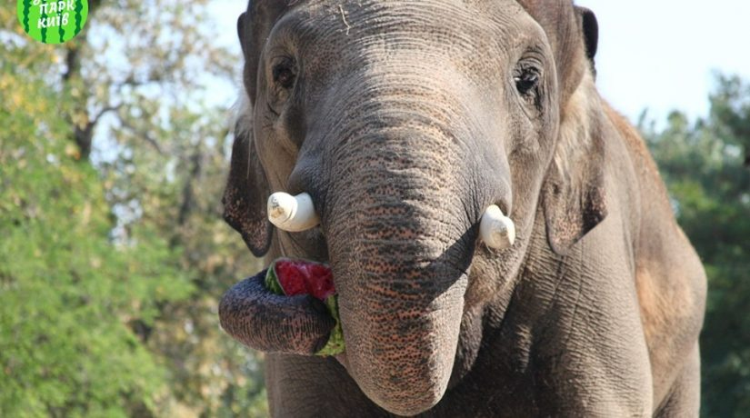 слон, Хорас, зоопарк