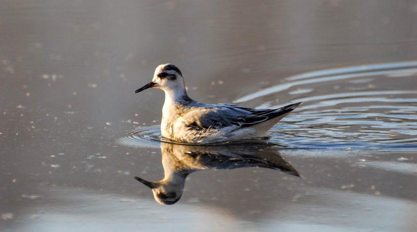 На озере Тельбин замечена редкая птица