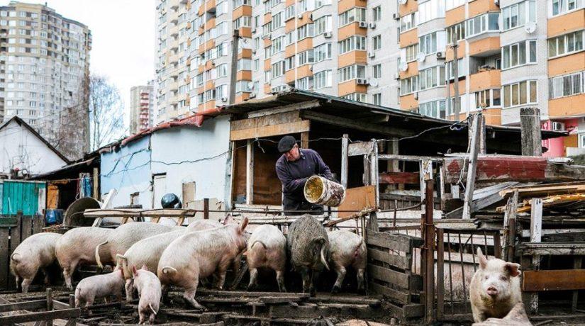 Село и люди. Как выживает ферма среди многоэтажек на Позняках