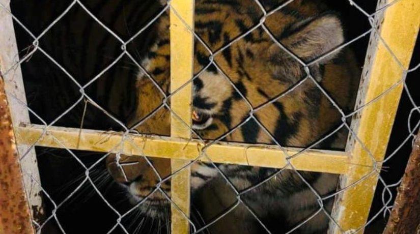 На Жуковом острове обнаружили шесть брошенных тигров