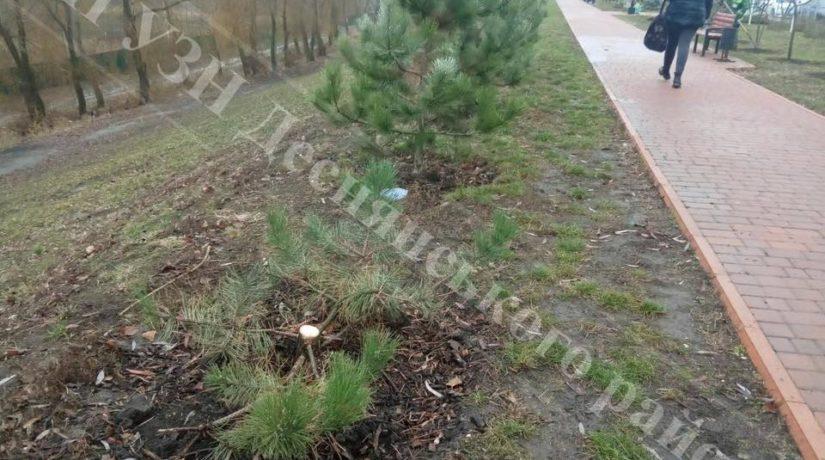 На Троещине сломали сакуры и изуродовали елки и сосны