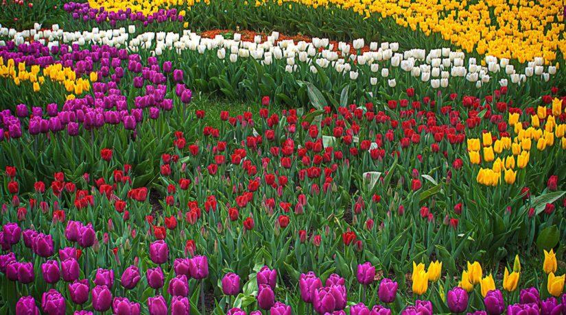 На Певческом поле пройдет юбилейная выставка тюльпанов