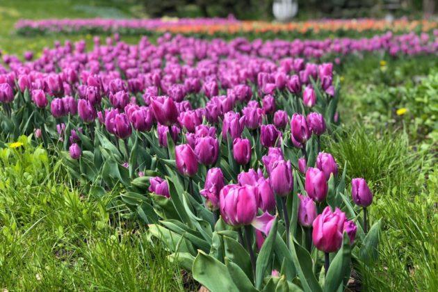 Барви тюльпанів Співочого поля – милуйся та вигравай подарунки