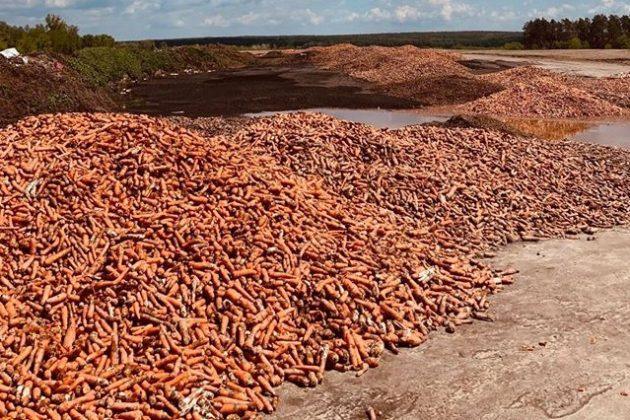 Збанкрутілий фермер вивіз на поле тонни моркви