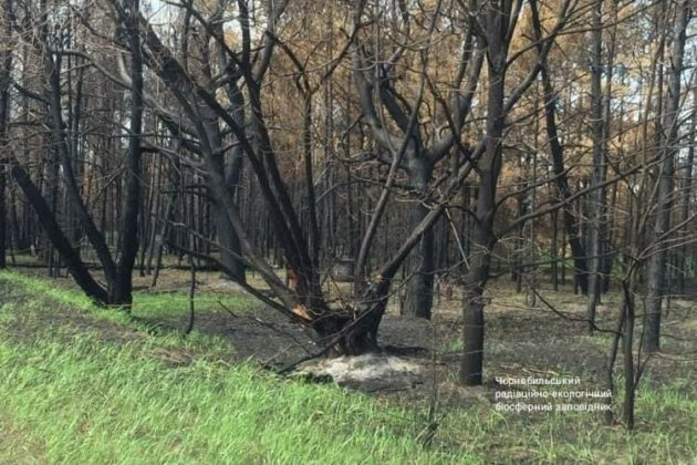 Зеленим по Чорному: як відроджується Чорнобиль після пожежі