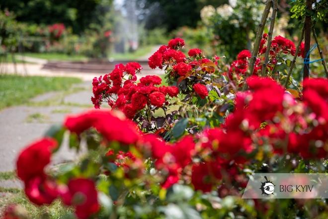 У ботанічному саду – море троянд! Ви повинні його побачити (ФОТО)