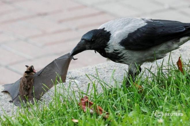 Фото дня Reuters. Ворона атакує кажана на Хрещатику
