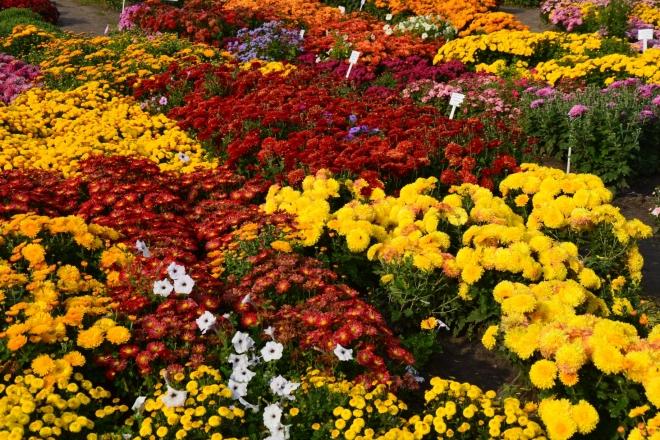 Ботсад запрошує на ярмарку-виставку хризантем з власної колекції