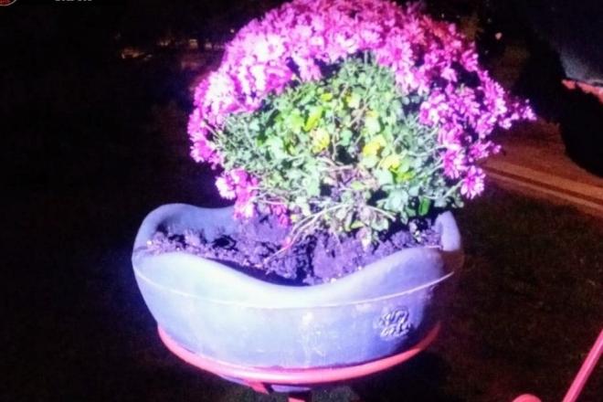 """Для перепродажу. У парку """"Кіото"""" жінка крала хризантеми з підвісних горщиків (ФОТО)"""