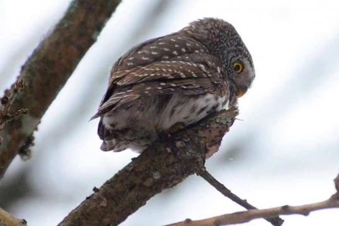 Поміститься у долоні. У Чорнобилі в кадр попала найменша сова в Україні (ФОТО)