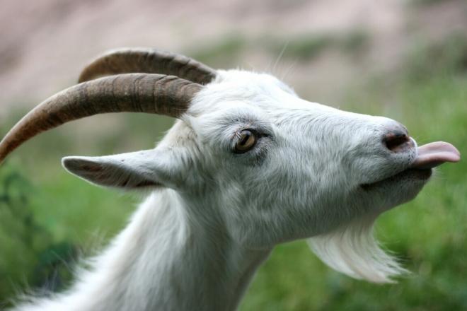Їли кози деревця і хвалили без кінця. В Дарницькому районі кізки паслись на клумбі з квітами