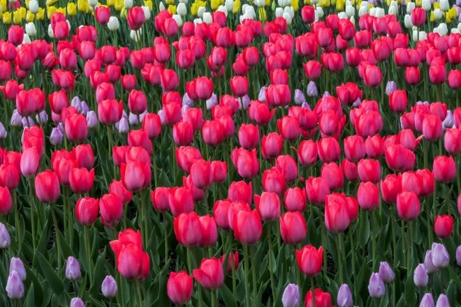 У центрі Києва висадять 100 тисяч тюльпанів. Це подарунок Королівства Нідерландів