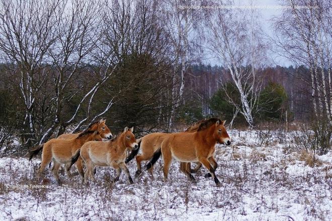 Коні Пржевальського у Чорнобилі- вражаюче фото