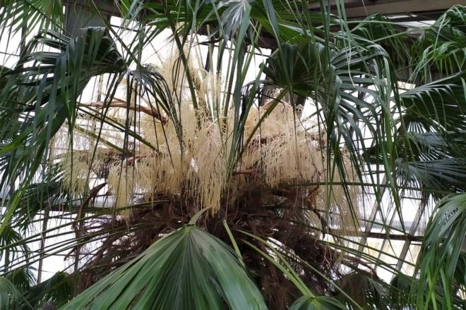 У столичному ботсаду розцвіла 200-річна пальма Лівістона (ФОТО)