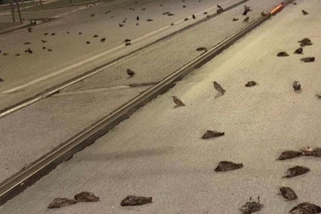 """Наслідки новорічних феєрверків: """"дощ"""" з мертвих птахів пройшов у Римі (ВІДЕО)"""