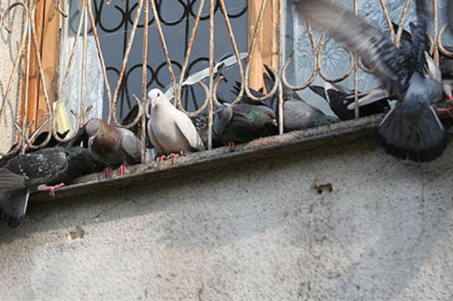 Кияни просять заборонити годівлю голубів біля житлових будинків
