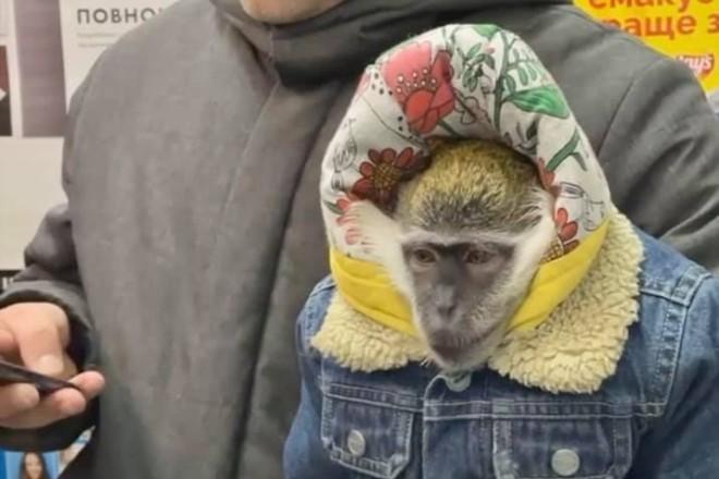 Заручники жорстокості і жадібності. Мавпа в хустці мерзне на Хрещатику, бо мусить заробляти гроші