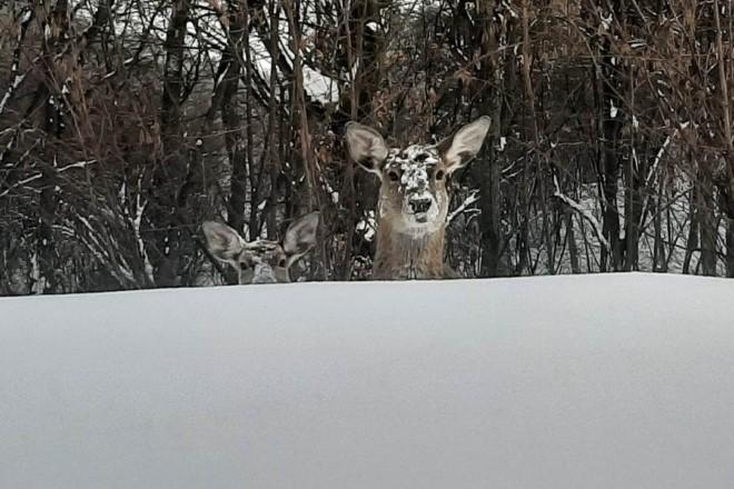 Забирають корм у лебедів. Як живеться оленям у Межигір'ї – зимове відео