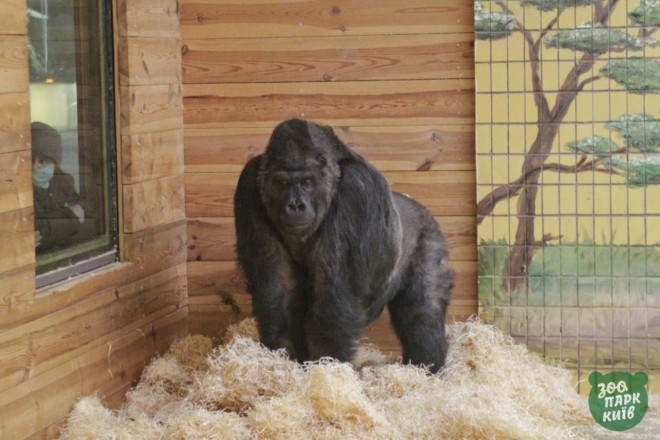 У пошуках їжі та друзів: горила Тоні зі столичного зоопарку після хвороби живе новим життям
