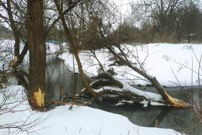 Що робити з бобрами? Білоцерківець збирає поради як врятувати дерева від водних гризунів