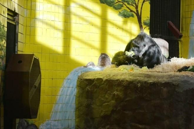 """Ви здивуєтесь. Незвичний """"Друг"""" рятує життя горилі Тоні у київському зоопарку"""