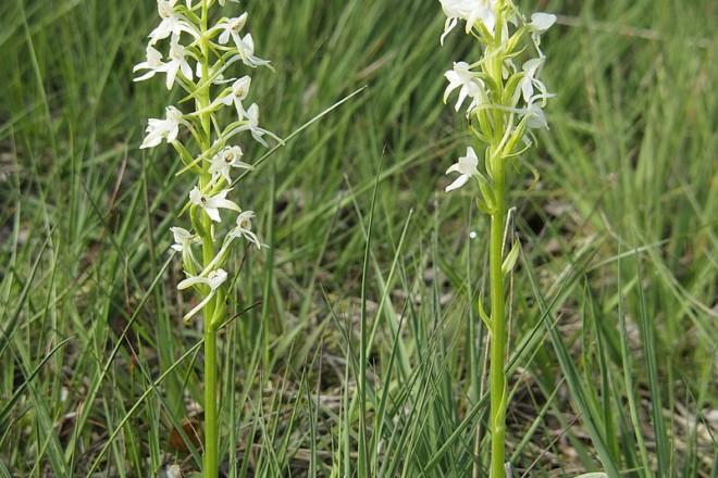 Біля Ірпеня ростуть квіти зі статусом «неоцінений» та «вразливий» вид. Заради них створять «Любку»