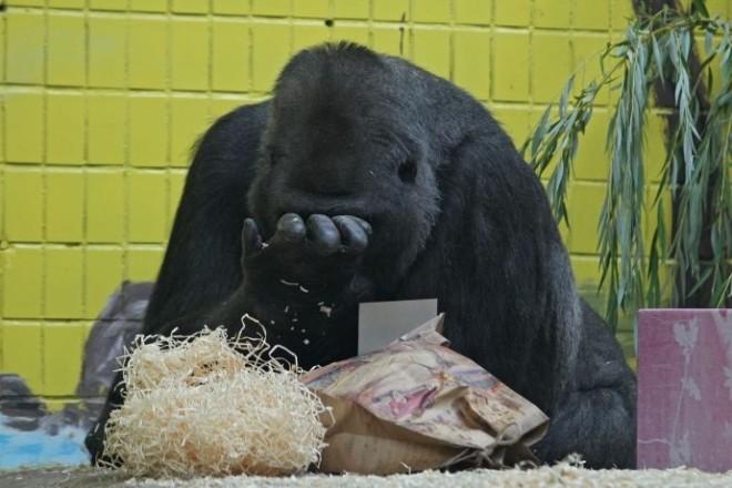 Не їсть і не грається. Захворіла легенда київського зоопарку – горила Тоні