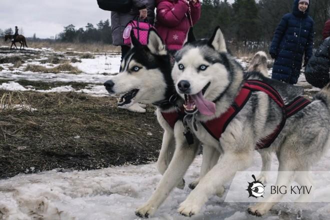 В Ірпені влаштували перегони на собачих упряжках – видовищні фото