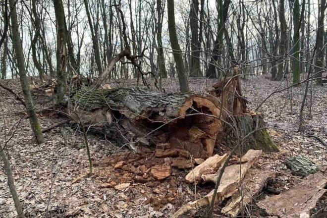 Стало відомо, хто і навіщо спиляв вікові дуби у Голосіївському парку