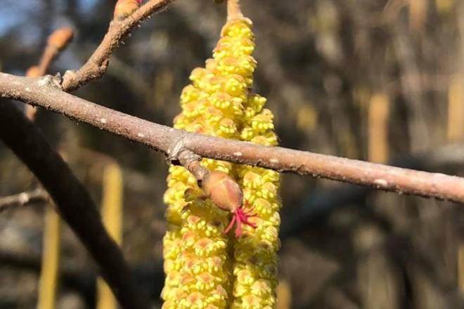 Столичний Ботсад показав як цвіте ліщина