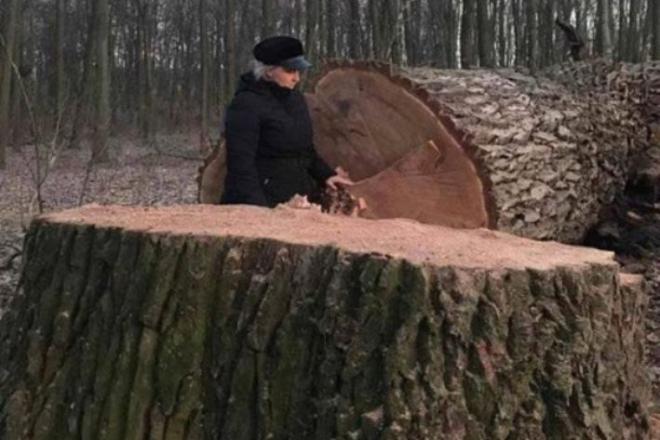 Росли тут віками: в Голосіївському парку невідомі спиляли 17 дубів (ФОТО)