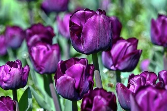 Київ готується до грандіозної виставки тюльпанів: подробиці