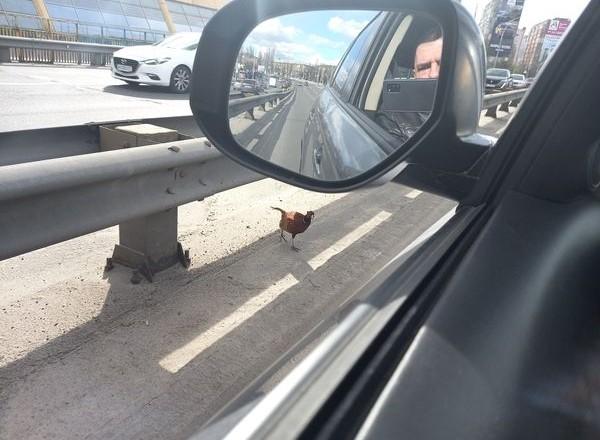 Таке побачиш не часто: на Кардачах автосмугою гуляють фазани (ФОТО)