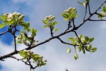 Дикі груші розквітнули в Чорнобильському заповіднику – ФОТО