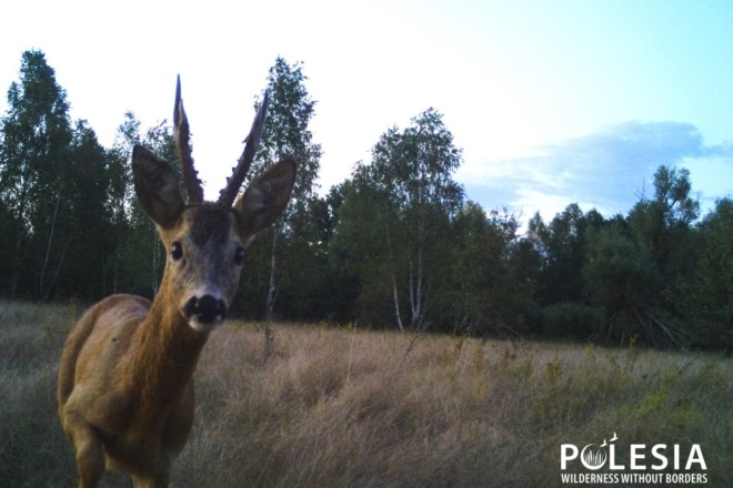 У Чорнобилі помітили рідкісних сарн (ФОТО)