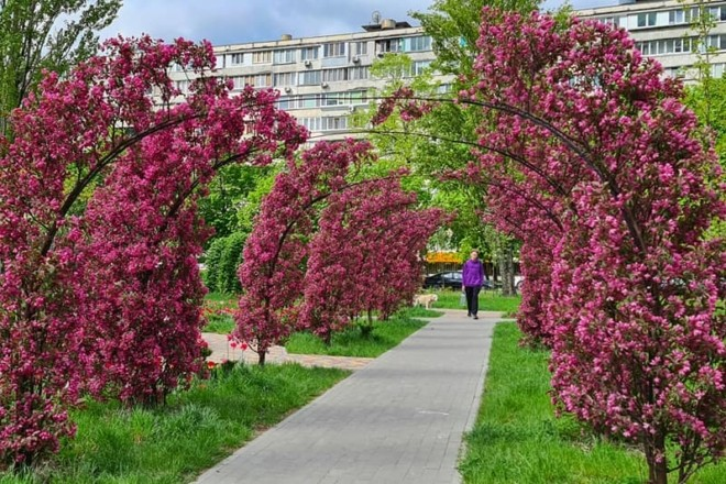 """Обов'язкове місце для селфі: на Березняках вкрився рожевим цвітом """"тунель кохання"""""""