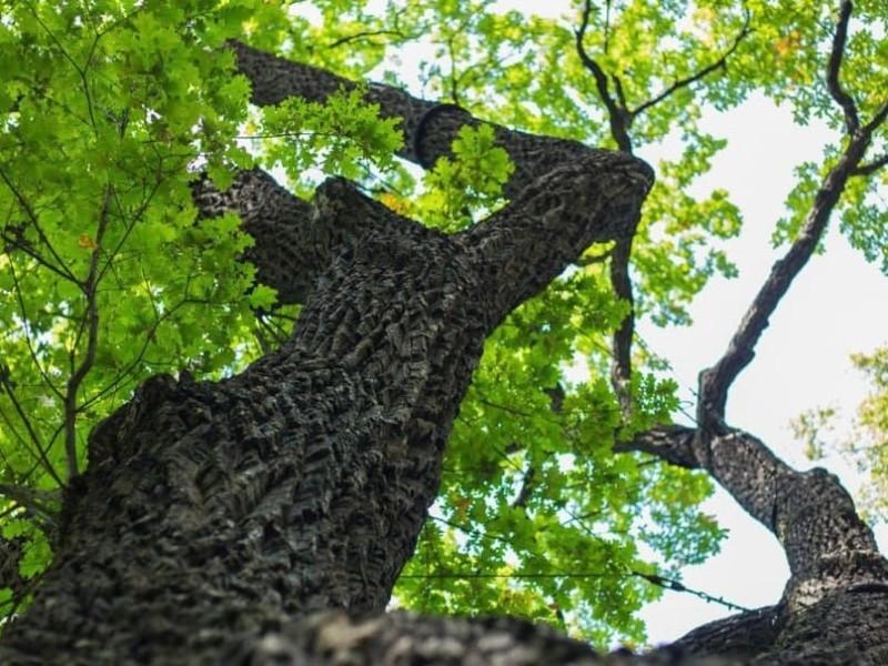 Чотирьохсотлітній дуб та столітню катальпу оголосили пам'ятками природи