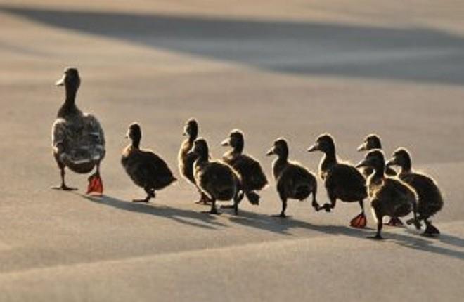 Добро в моді. Кияни перевели качку з каченятами через 6 смуг автомагістралі (ВІДЕО)