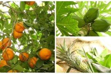 Під Києвом чоловік вирощує банани, папайю та іншу екзотику (ВІДЕО)