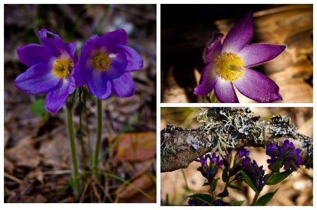 Неоцінені. У Чорнобилі знайшли рідкісні квіти (ФОТО)