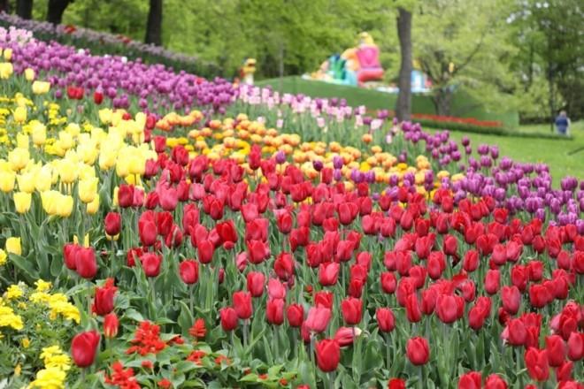Кольорова краса: 700 тисяч тюльпанів розквітли на Співочому полі (ФОТО)