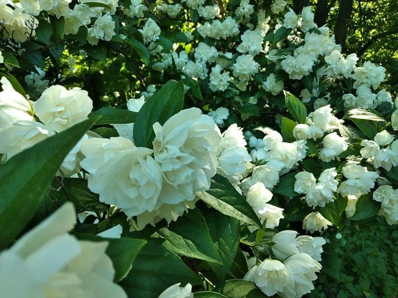 Цвіте жасмин – біляві квіти, полону й волі полюси: Бодсад потопає в ароматі ніжності (ФОТО)