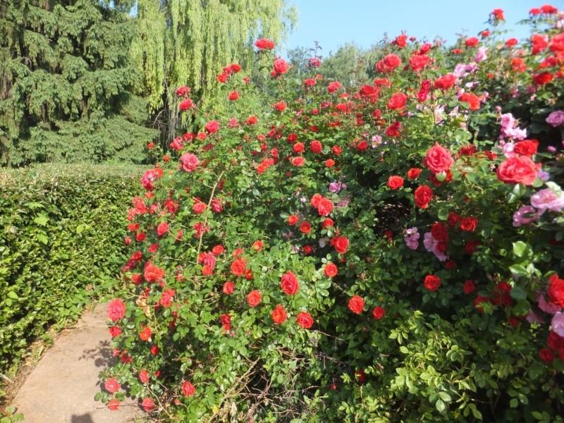 Неймовірна краса: Сад троянд квітує в ботсаду Гришка