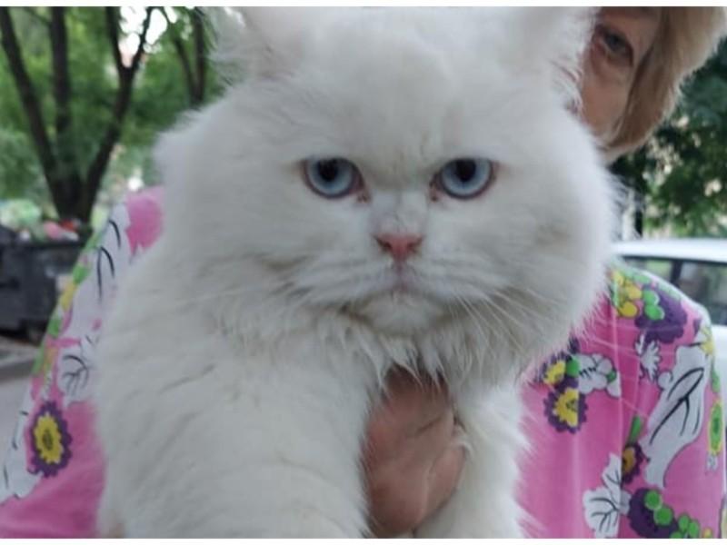 Білосніжна з голубими очами. На Теремках хтось викинув кішку неймовірної вроди